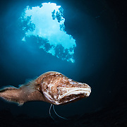 An almost blind cusk eel (Lucifuga) survives just fine in the darkness of deep blue hole.