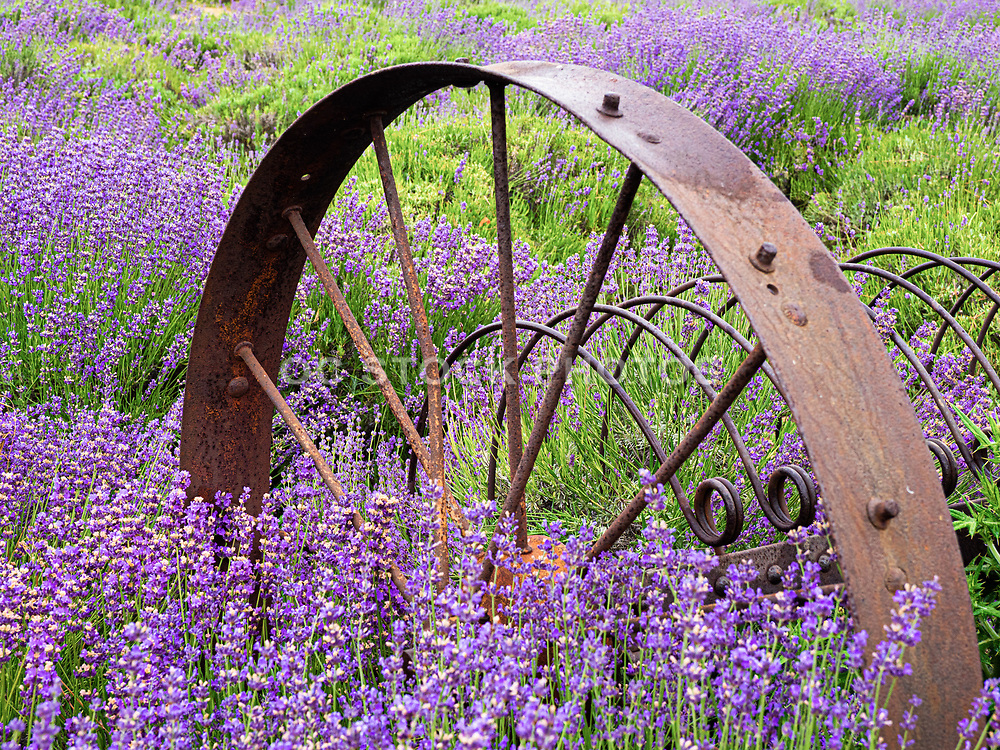 Rusted Wagon Wheel in the Lavender Fields