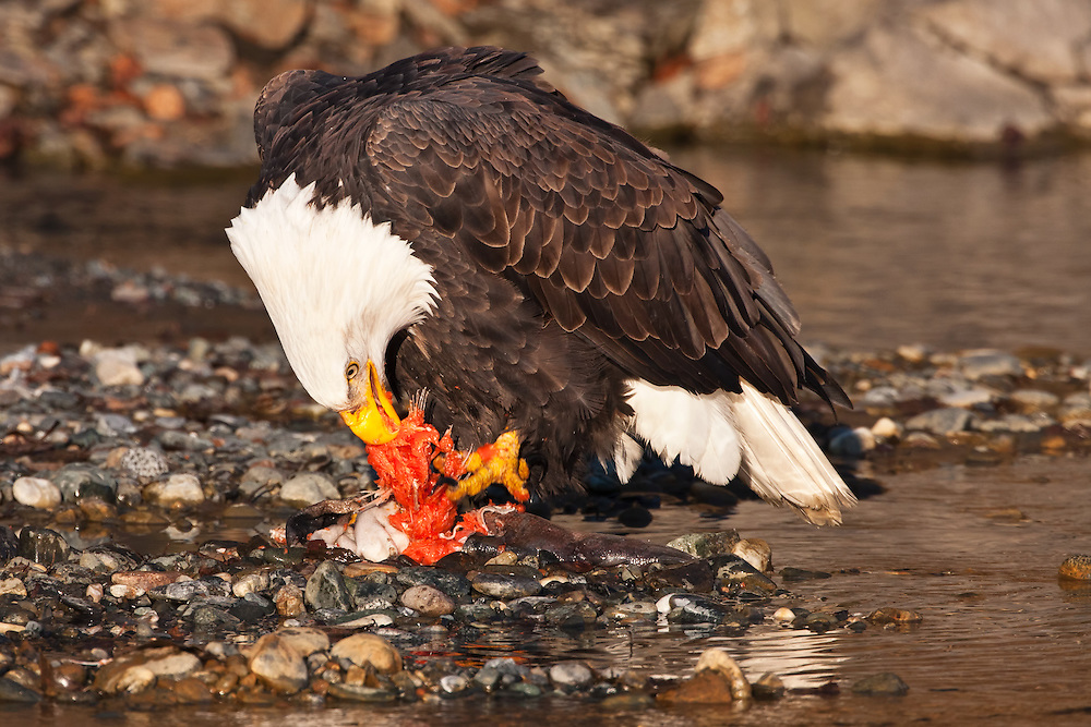 Bald Eagle (Haliaeetus leucocephalus) feasting on Chum Salmon (Oncorhynchus keta) on riverbed in Chilkat Bald Eagle Preserve near Haines in Southeast Alaska.  Winter. Afternoon.