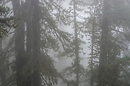 Trees in the Aletschwald in the mist, Riederalp, Valais, Switzerland