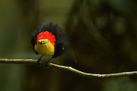 Wire-tailed Manakin (Pipra filicauda).Male at display perch....Tiputini Biodiversity Station, Amazon Rain Forest, Napo Province, Ecuador