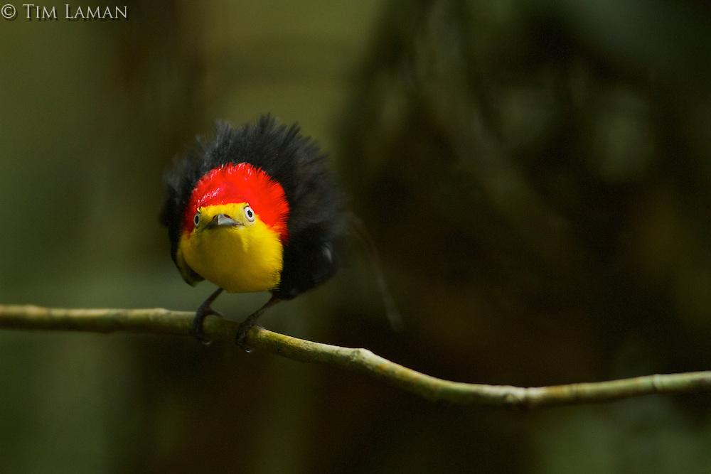 Wire-tailed Manakin (Pipra filicauda).Male at display perch....Tiputini Biodiversity Station, Amazon Rain Forest, Napo Province, Ecuador