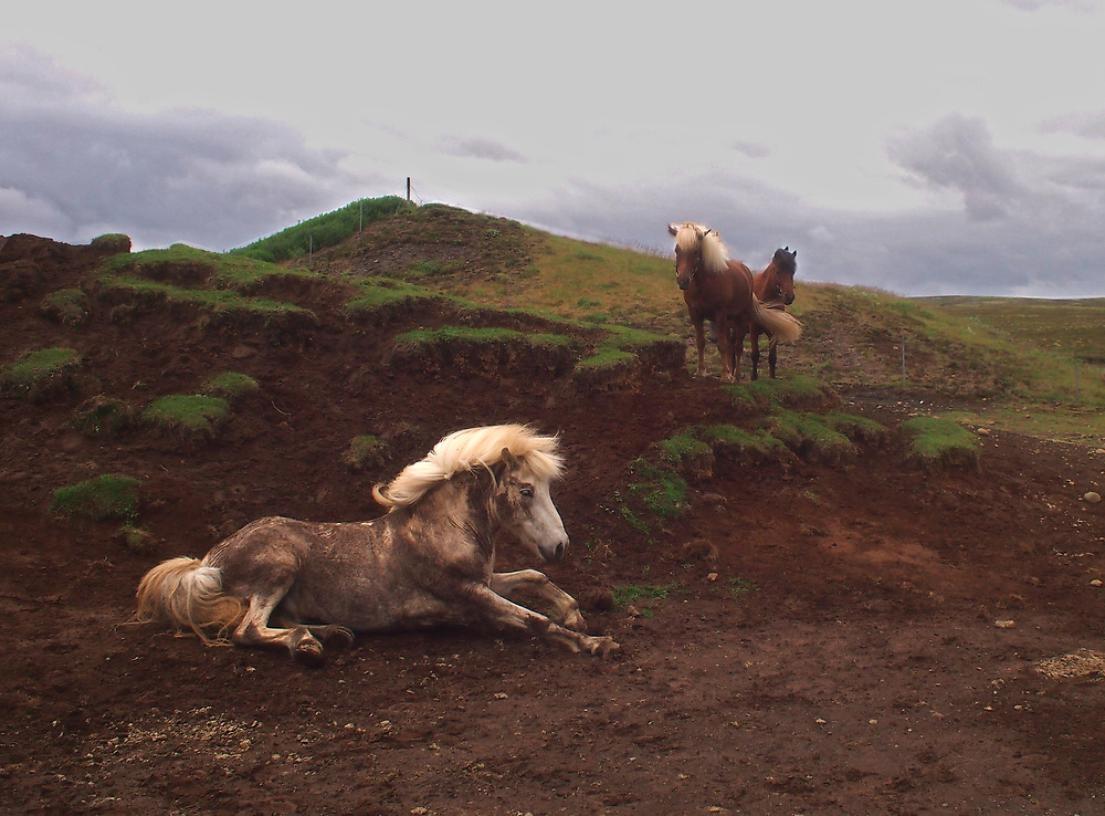 Horses play in the dirt in South Iceland near Selfoss 2017.