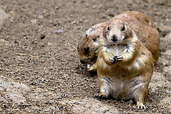 03 July 2006  A quick vacation through Iowa to Omaha.  Blacktail Prairie Dog (Cynomys ludovicianus). (Photo by Alan Look)