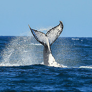 Whale Tail photo, Whale fluke photo, Fluke, Whale, Northern Beaches Whale. Whale off Long Reef