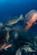 cubera snappers, Lutjanus cyanopterus, release cloud of eggs and sperm at top of spawning rush, spawning aggregation at Gladden Spit and Silk Cayes Marine Reserve, off Placencia,  Belize, Central America ( Caribbean Sea )