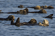 Southern Sea Otter<br /> Enhydra lutris<br /> Raft<br /> Monterey, CA, USA