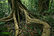 Buttress roots in rainforest. Corcovado National Park, Osa Peninsula, Costa Rica. <br />
