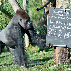 London, UK - 2 January 2014:  a 16 years old Western Lowland male Gorilla named Kumbuka checks a board on a tree during the annual animal stocktake at ZSL London Zoo. The compulsory count is required as part of ZSL London Zoo's zoo license and the results are logged into the International Species Information System (ISIS), where the data is shared with zoos around the world and used to manage the international breeding programmes for endangered animals.