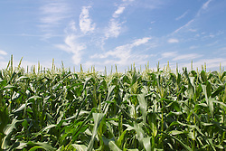 Beautiful day in a cornfield in The Hamptons