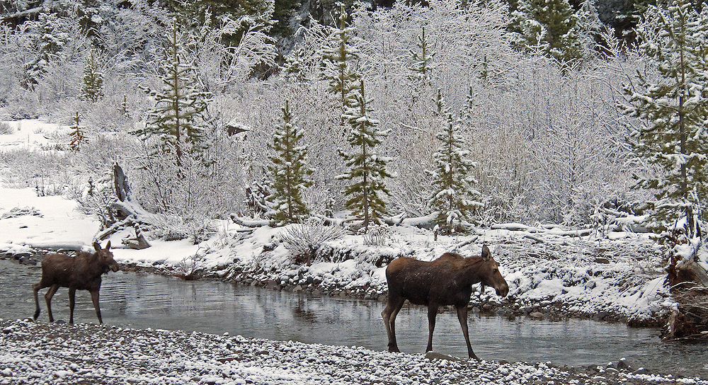 A cow moose and her yearling calf travel along the Shoshone River after a late spring storm blankets the area with a fresh coating of snow.