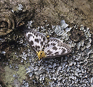 Small Magpie Eurrhypara hortulata Wingspan 25-28mm. A well-marked moth. Adult has black-and-white wings; the head, thorax and tip of the abdomen are flushed orange-yellow. Flies June-July. Larva feeds inside a rolled leaf of Common Nettle and other plants. Locally common in southern and central Britain but scarce elsewhere.