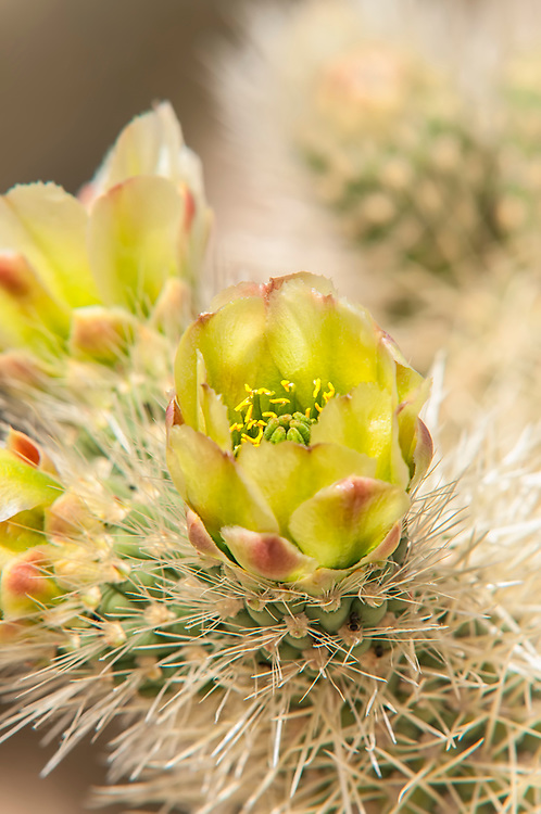 Closeup detail of a blooming teddybear cholla in the Mojave Desert. These bright canary-yellow blossoms are about the size of a lemon with green stalks and pistils, bright yellow anthers, and a rose-pink highlings on the outside of the petals.