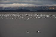 Canada. Quebec. wild gooses on the Saint Laurent in Montmagny   / oies sauvages sur le saint Laurent a montmagny  / QBC176