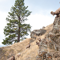 bighorn sheep rams on clif with ewe wild rocky mountain big horn sheep