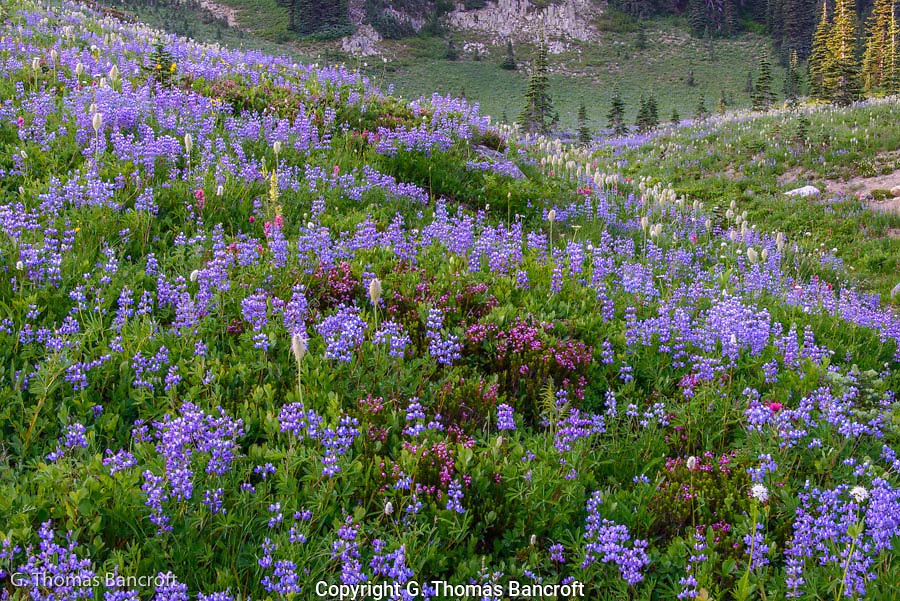 I found aplpine flowers in full bloom around the Naches Peak.