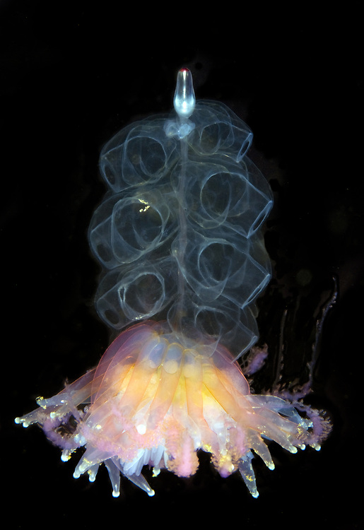 Hula Skirt Siphonophore (Physophora hydrostatica). Location : Stavanger, Norway