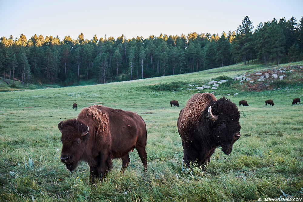 Bison graze in a grassy meadow of Custer State Park, South Dakota.