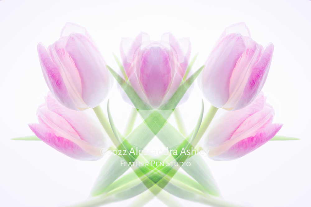 Multi-exposure (mirror)  montage, a grouping of translucent pink and white tulips.