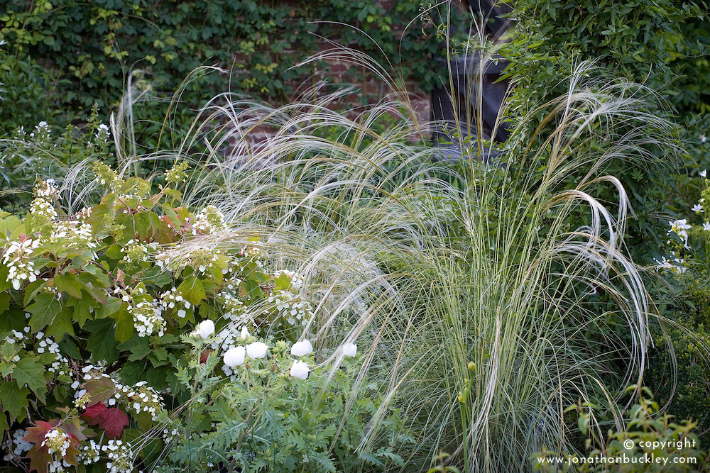 Stipa barbata with Hydrangea quercifolia in the White Garden at Sissinghurst Castle
