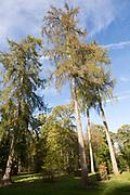 European larch tree,  Larix decidua, National arboretum, Westonbirt arboretum, Gloucestershire, England, UK