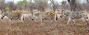 Plains zebras playing follow the leader