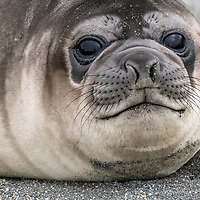 Portrait of an elephant seal weaner on the beach at Saint Andrews Bay on the north coast of South Georgia Island.
