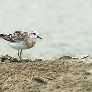 The red-necked stint (Calidris ruficollis) is a small migratory wader. Pak Thale, Thailand.