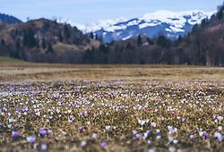 THEMENBILD - eine Krokuswiese in den Pinzgauer Bergen, aufgenommen am 30. März 2019, Kaprun, Österreich // a crocus meadow in the Pinzgau mountains on 2019/03/30, Kaprun, Austria. EXPA Pictures © 2019, PhotoCredit: EXPA/ Stefanie Oberhauser