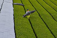 Japon, île de Honshu, région de Kansaï, Uji, champs de thé, culture du thé Sencha, Gyokuro et Matcha, les plantations sont couvertes avant la recolte // Japan, Honshu island, Kansai region, Uji, tea field for Sencha, Gyokuro and Matcha tea, plantations are covered before harvest