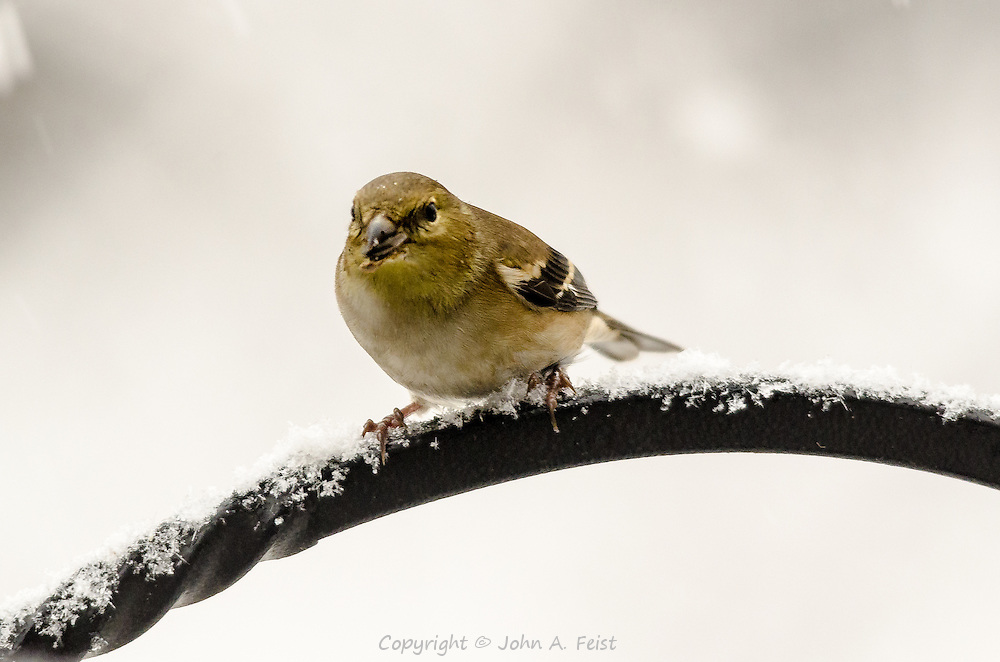 She's working on a sunflower seed as she sits on a snow covered perch