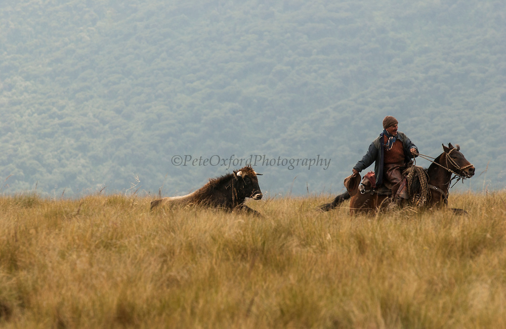 Chagra (cowboy) being charged by bull while riding in Paramo (High altitude grasslands) to herd the cattle<br /> Chagras overnight in the Paramo in the furthest corners of the ranch to then drive the cattle towards the ranch the following day for the annual round-up.<br /> Yanahurco Hacienda (Ranch) - largest privately owned ranch in Ecuador (25,000 Hectares)<br /> Base of Cotopaxi Volcano<br /> Andes<br /> ECUADOR.  South America