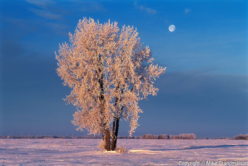 Hoarfrost on cottonwood tree  (Populus deltoides) and setting moon<br /> Dugald<br /> Manitoba<br /> Canada
