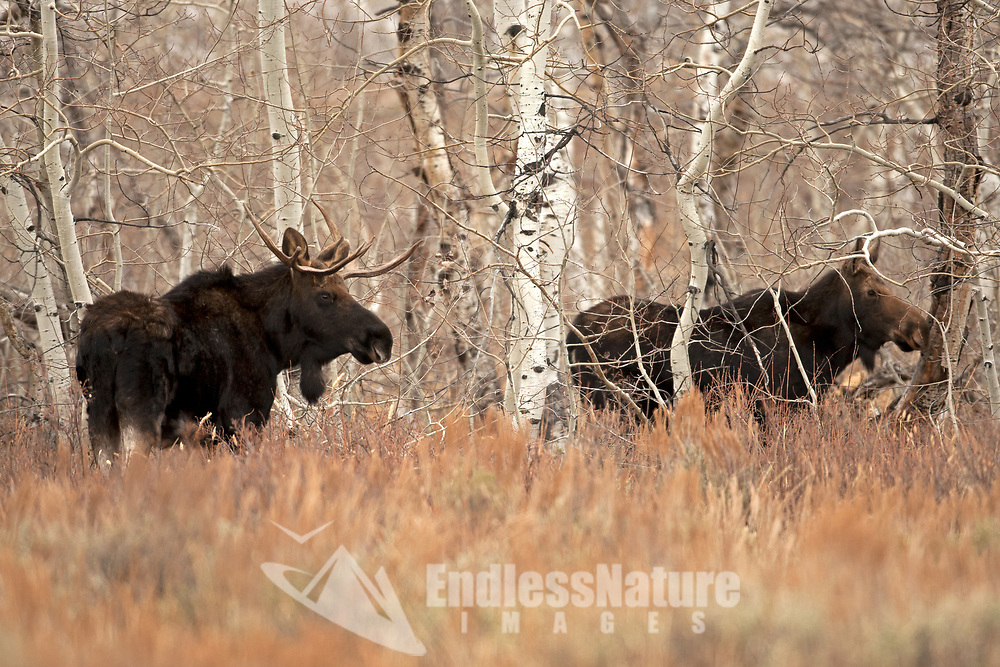A cow and Bull Moose rests in a stand of Aspen trees.