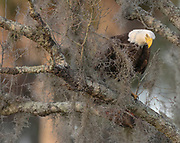 Bald Eagle in oak tree gathering spanish moss for nest, Haliaeetus leucocephalus, Ft.Myers, Florida