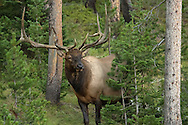 Due to a change in hormone levels,  the antlers of the bull elk  stop growing in mid-August. The bull will then begin scraping the velvet from his antlers while simultaneously polishing and sharpening them on nearby saplings, readying himself for the September rut.
