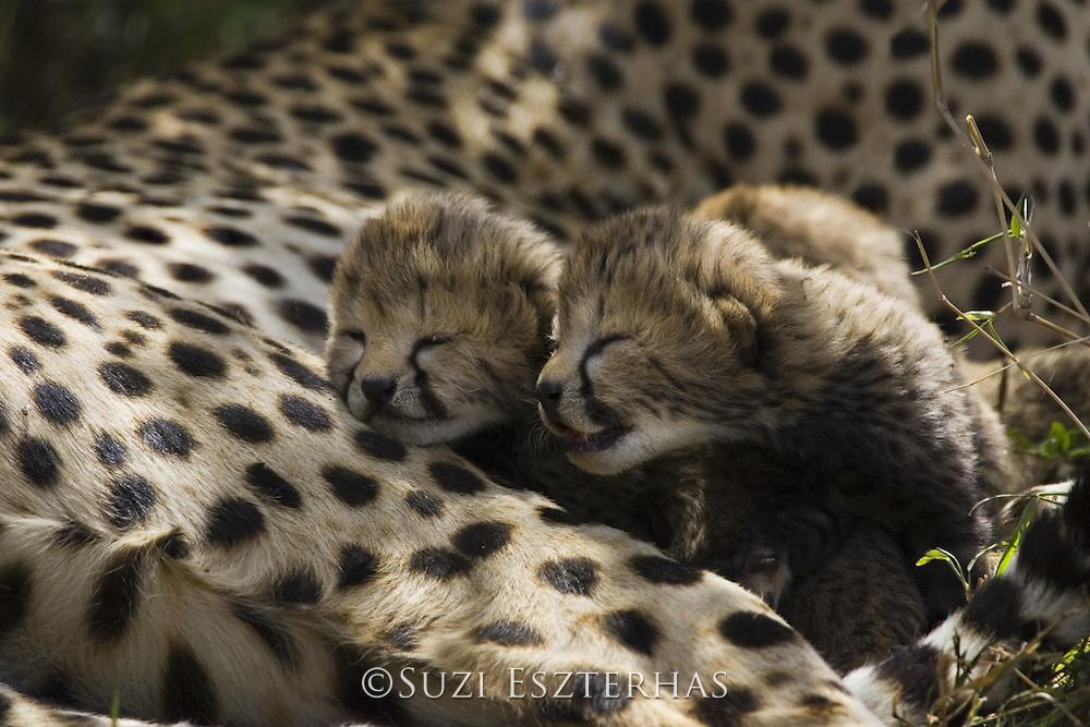 Cheetah<br /> Acinonyx jubatus<br /> 6 day old cub(s) in nest<br /> Maasai Mara Reserve, Kenya