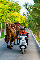 A man leading his camels home for the night with his motorscooter from the dunes at Singing Sand Mountain where they bring tourists on a short caravan ride. Dunhuang, Gansu Province, in northwest China. Dunhuang sits along the ancient Silk Road and sits at the edge of the Gobi Desert.