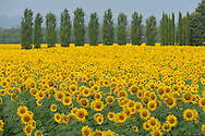 Sunflower fields and trees, Tuscany, Siena Province, Italy, Europe