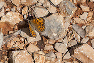 Lasiommata megera - Wall Brown