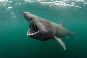 A basking shark (Ceterhinus maximus) feeding at the surface on plankton. Photographed in June. Cairns Of Coll, Isle of Coll, Inner Hebrides, Scotland. British Isles. North East Atlantic Ocean.