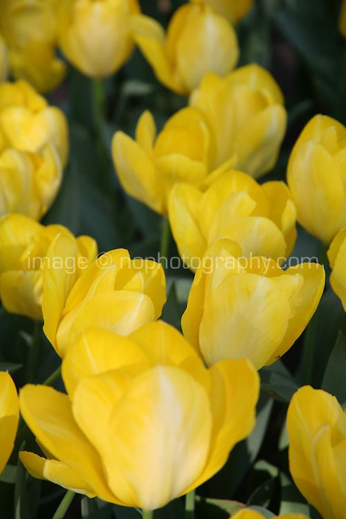 Yellow tulip flowers growing