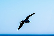 Seagull glides over the ocean water, Medeterranean S.ea