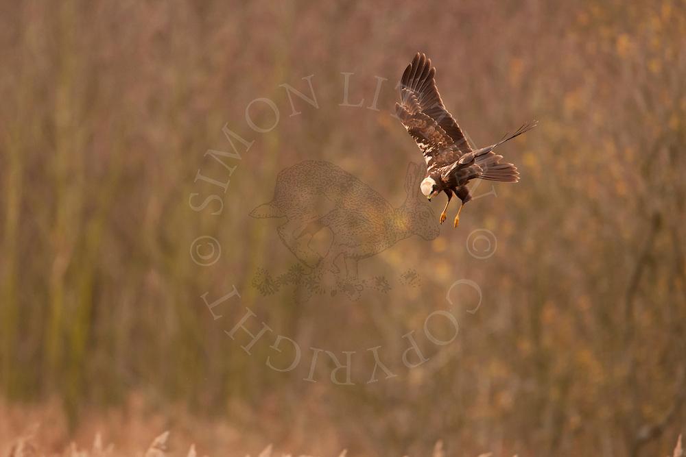 Marsh Harrier (Circus aeruginosus) adult hunting over reedbed, Norfolk, UK.