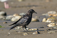 Northwestern Crow (Corvus caurinus)   Photo: Peter Llewellyn
