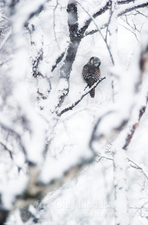 Northern Hawk Owl (Surnia ulula), Finnmark, Norway