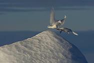 Ivory gull, Pagophila eburnea, Phantom of the Pack Ice, Svalbard, Norway, Arctic