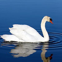 Mute Swan with reflection in blue water