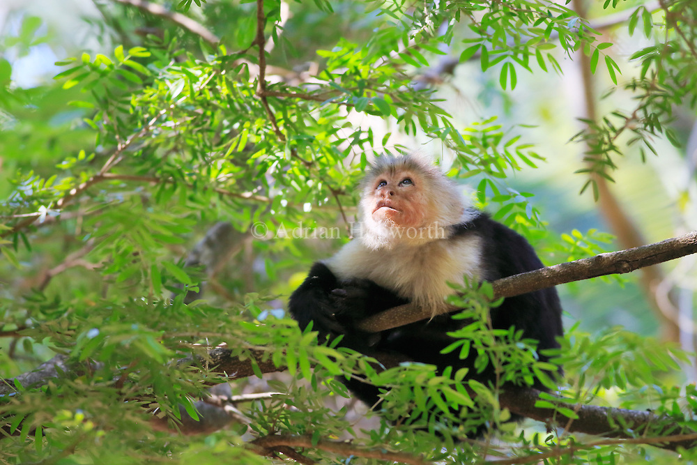 This White-faced Capuchin Monkey was one of a small troop that was foraging in the tropical dry forest of Palo Verde National Park in Guanacaste. At one point it sat down and stared at something up in the canopy for about 30 seconds. I was so engrossed in photographing its expression that I never saw what had caught it's attention.<br />
