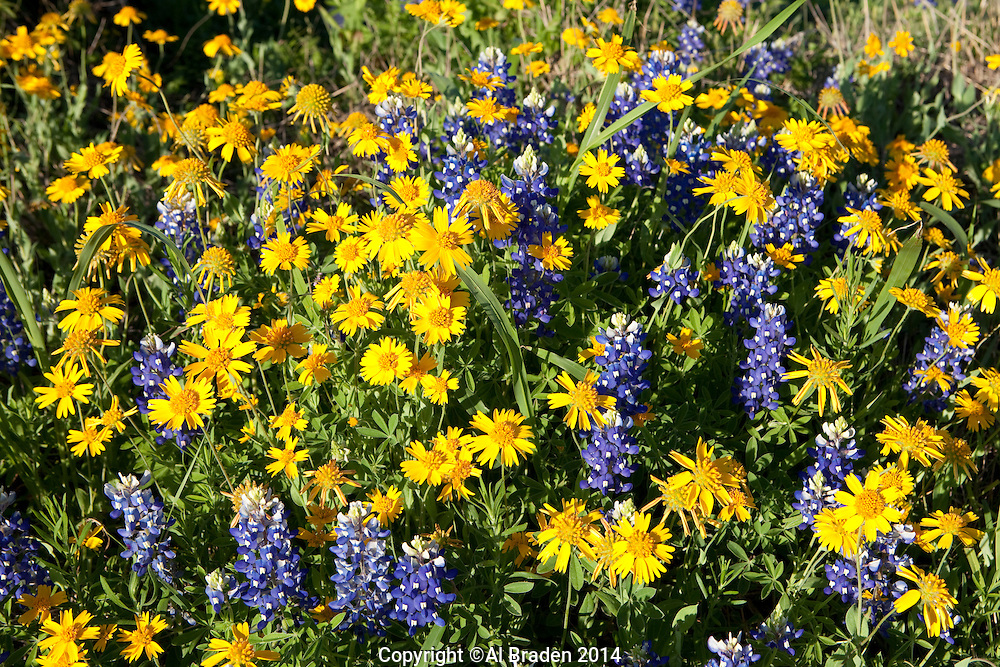 Bluebonnet and Huisache Daisy, DeWitt County